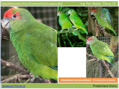 Amazónek červenohlavý - Pionopsitta pileata