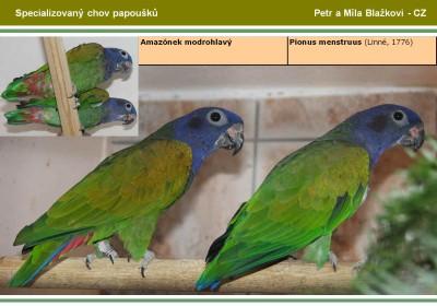 Amazónek modrohlavý